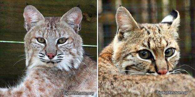 Nabisco Bobcat and Mrs. Claws Bobcat
