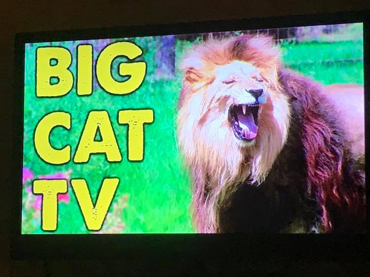 Did you know if you have a Roku or Smart TV, you can get Big Cat TV?! You can watch the big cats on the big screen all day long! ?