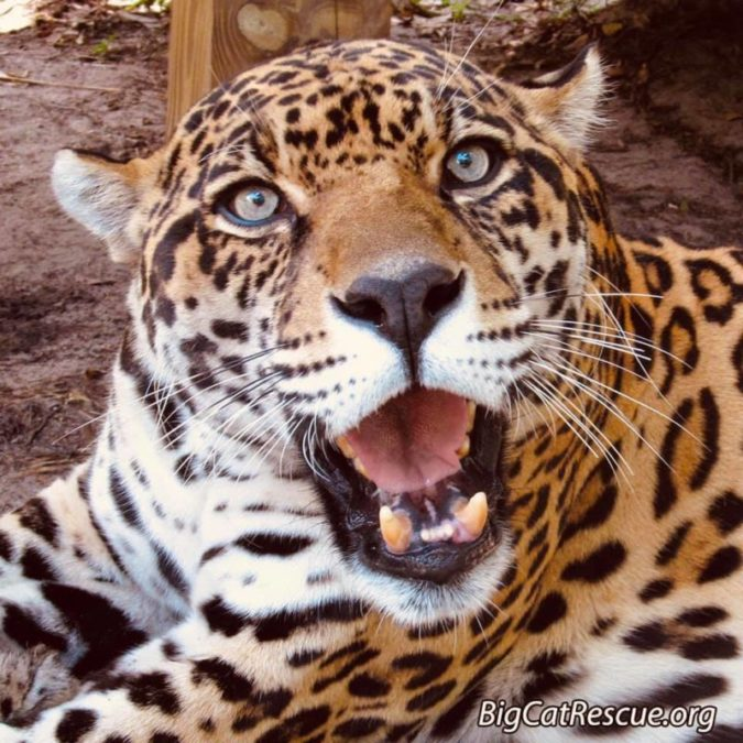 Mr. Intense~ Manny Jaguar is happy, happy, happy it's finally CATurday!