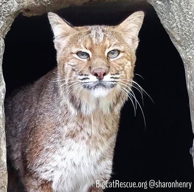 Frankie Bobcat has been busy being cute for the tours today! Photo: Brittany Mira