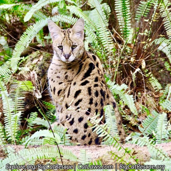 Kricket Serval hopes everyone had a terrific day! ? She is ready for a quiet evening!