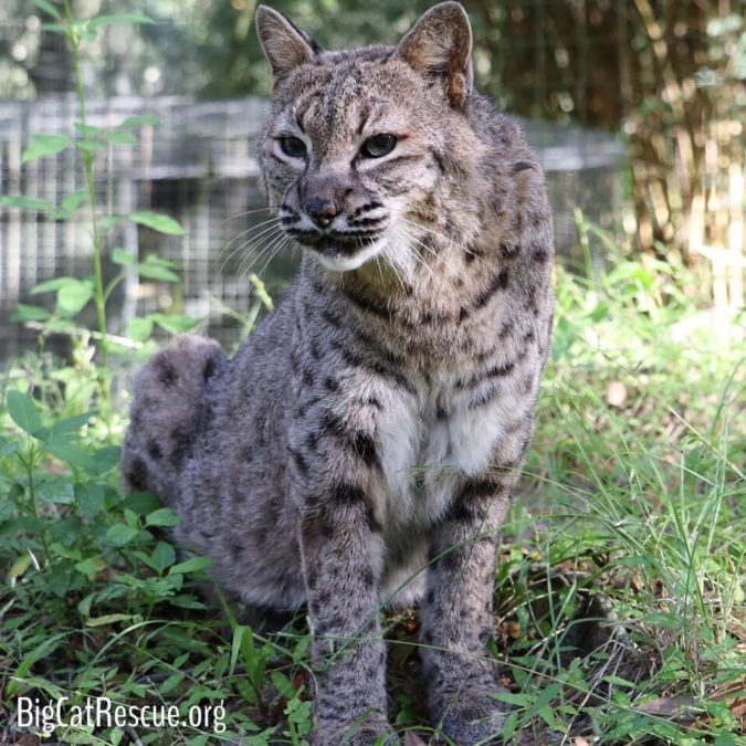 Running Bear Bobcat is 21 years old but has been acting like a kitten in his new enclosure