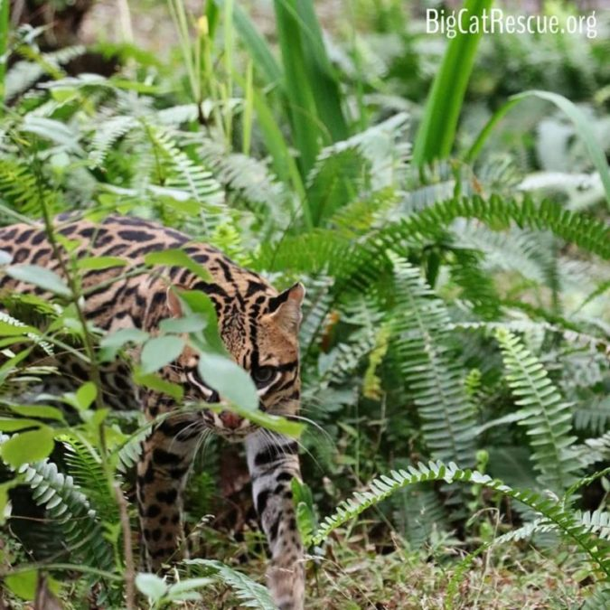 The late afternoon and evening is the Purrfect time for Purrfection Ocelot to roam.