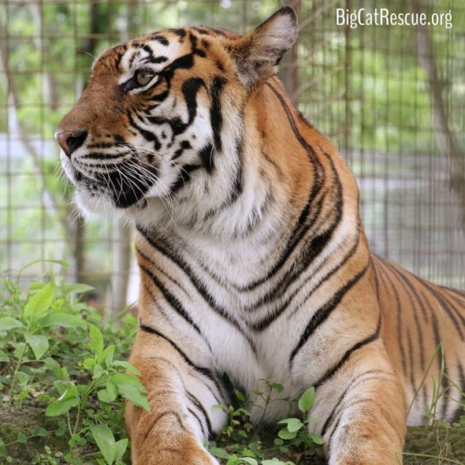 Beautiful and Sassy Amanda Tiger is doing well and still being her feisty self!
