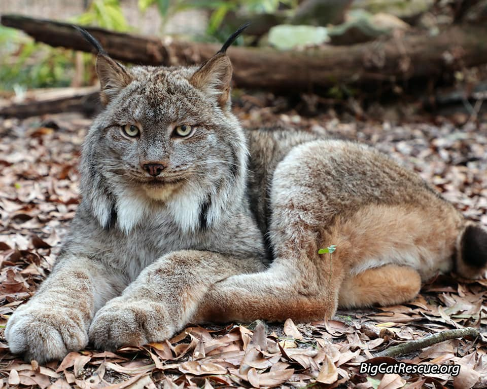 Handsome Gilligan Lynx hopes you have a peaceful FURiday night