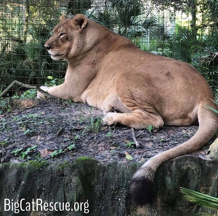 Nikita Lion is settling in for her long nightscat nap! Sweet dreams every one! Photo: Brittany Mira
