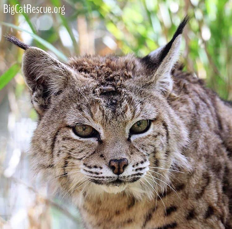 What cuter way to start the week than with our precious Miss Tiger Lilly Bobcat! ? Have a wonderful day everyone! ? Photo: Brittany Mira