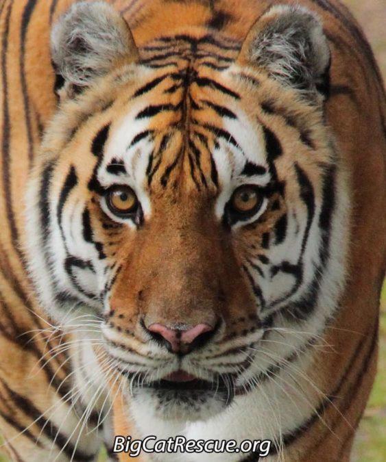 Kali Tiger
