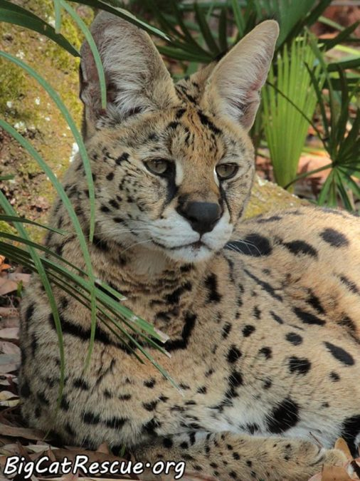 Des Serval is ready to drift off to sleep among the ferns!