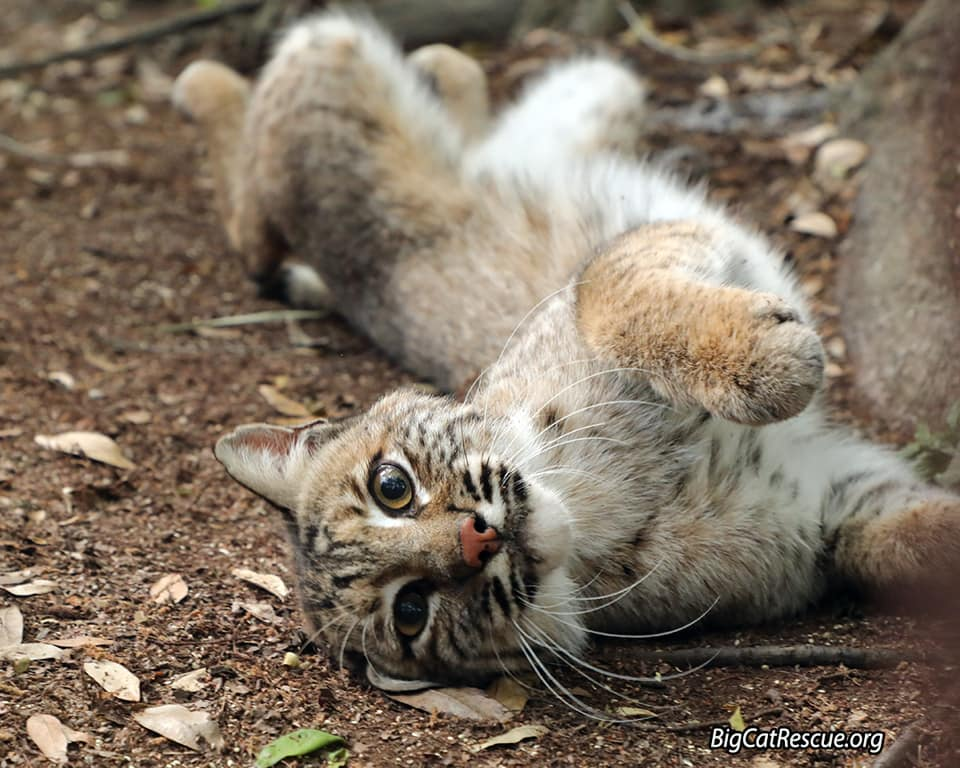 Handsome Lakota Bobcat is all stretched out ready for a good nights catnap!