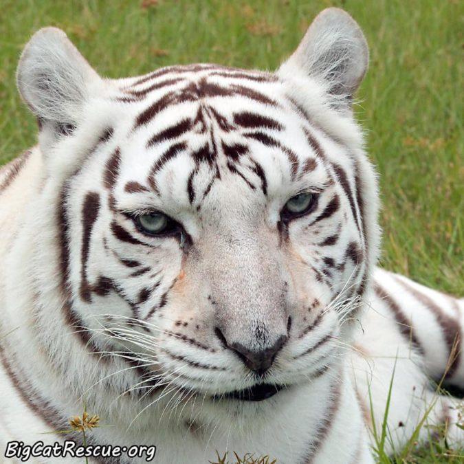 Happy CATurday from beautiful Miss Zabu Tigress! ???