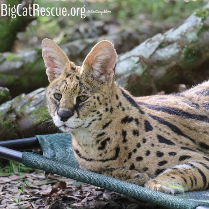 Des Serval in his favorite afternoon napping spot!