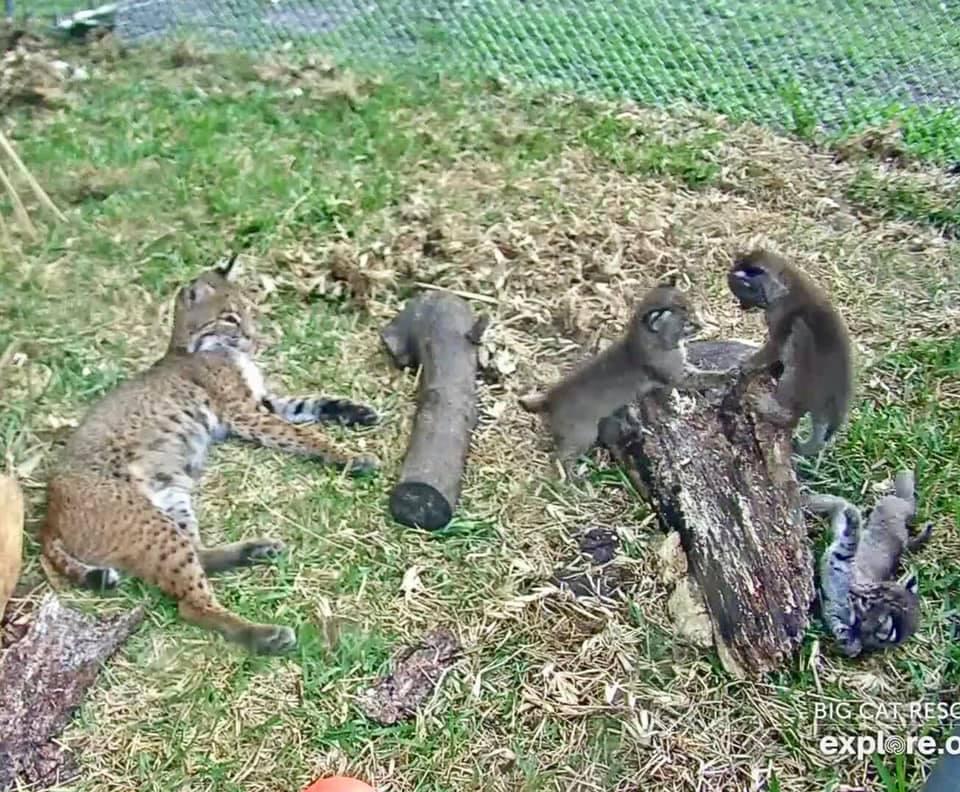 Rehab Bobcat Sky and her 3 kittens