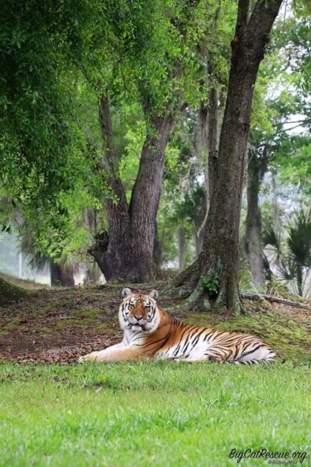 Kali Tiger Photo by Brittany Mira
