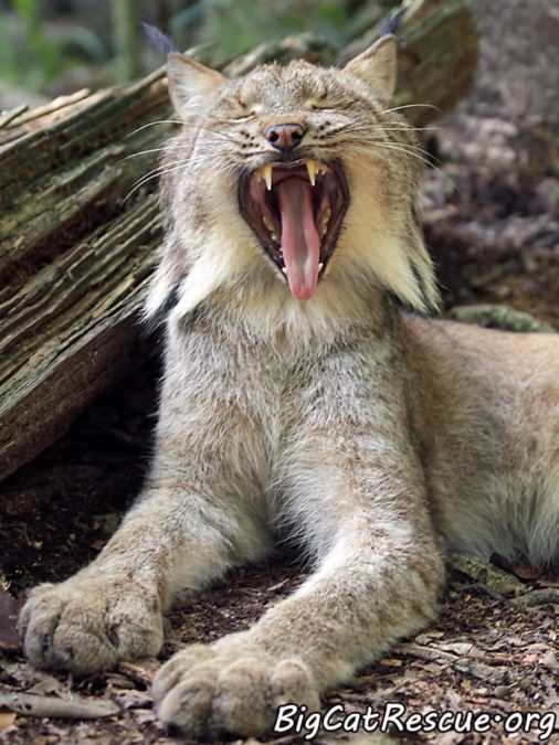 Gilligan Lynx is hoping everyone has a terrific Tongue Out Tuesday