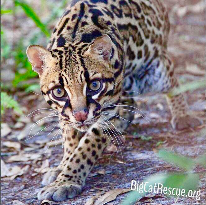 Beautiful Miss Purr-fection Ocelot is ready for a long catnap!