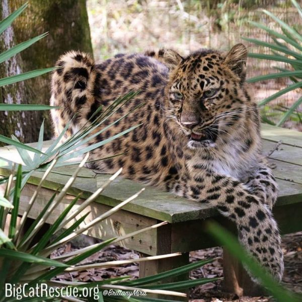 Natalia, the Amur Leopard just hanging out waiting on her afternoon sicle.