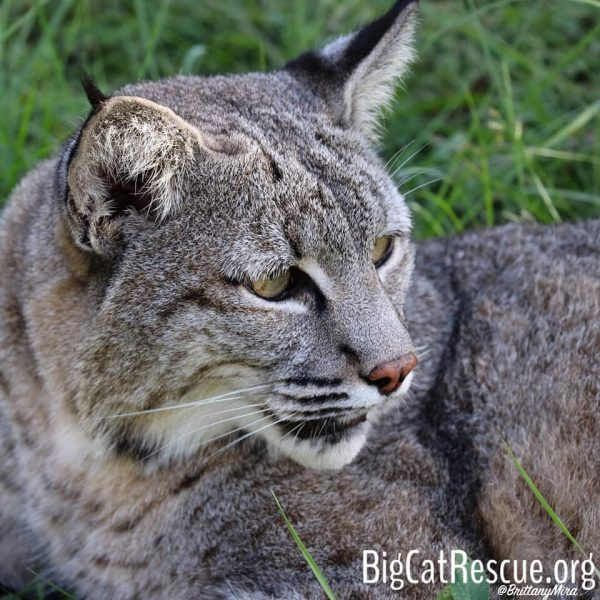 Max bobcat is on high alert... watching for the Keeper Tour!
