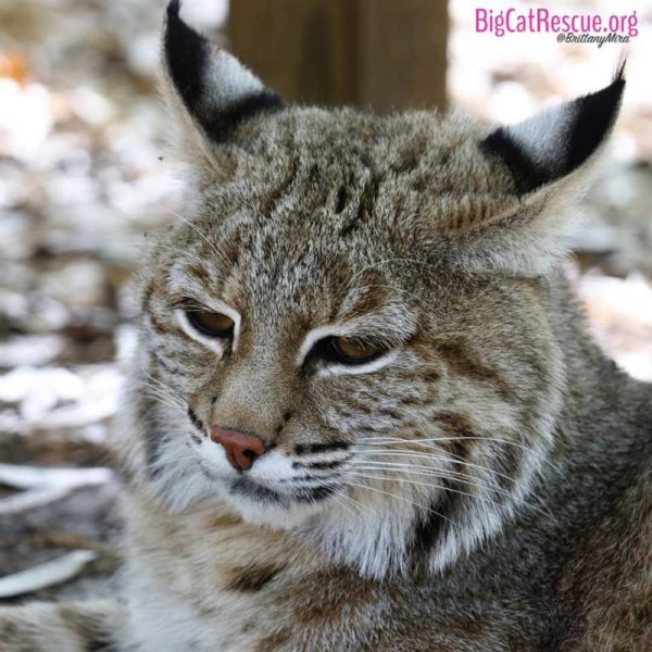 Smalls bobcat is hitting the snooze button today!