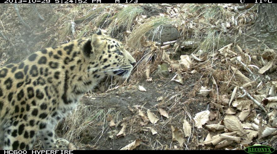 Phoenix-Fund-Amur-Leopard-Conservation-2