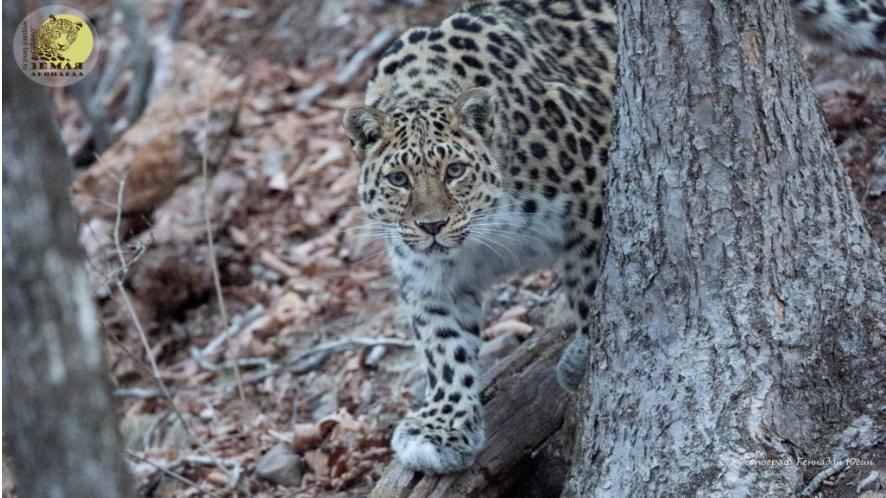 Phoenix-Fund-Amur-Leopard-Conservation-3