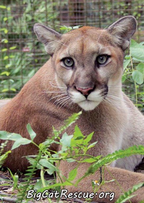 Adorable Artemis Cougar wishing you sweet dreams!