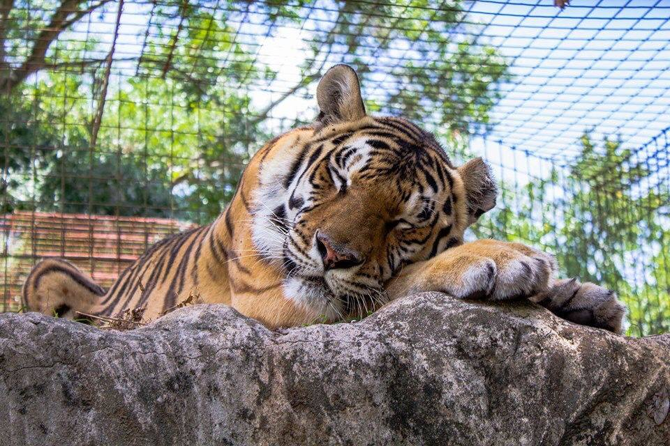 Good night Big Cat Rescue Friends! ? Jasmine Tigress says it's hard work being cute! Time for nite nite! ✨ Photo: courtesy of Tanya Chute