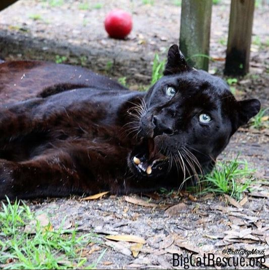Jinx, the black leopard, has some of the greatest facial expressions. This photo of this beautiful boy just begs for a caption. If this photo was going to be turned into meme how would you CAPTION THIS?