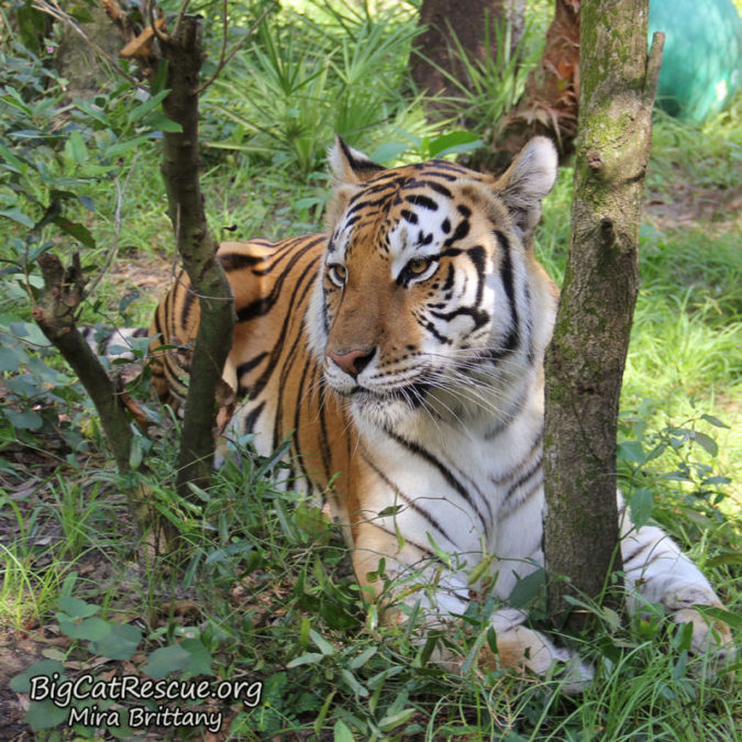 Dutchess | Big Cat Rescue