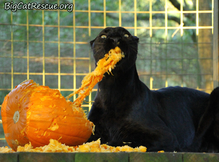 Jinx has an absolute blast shredding pumpkins!