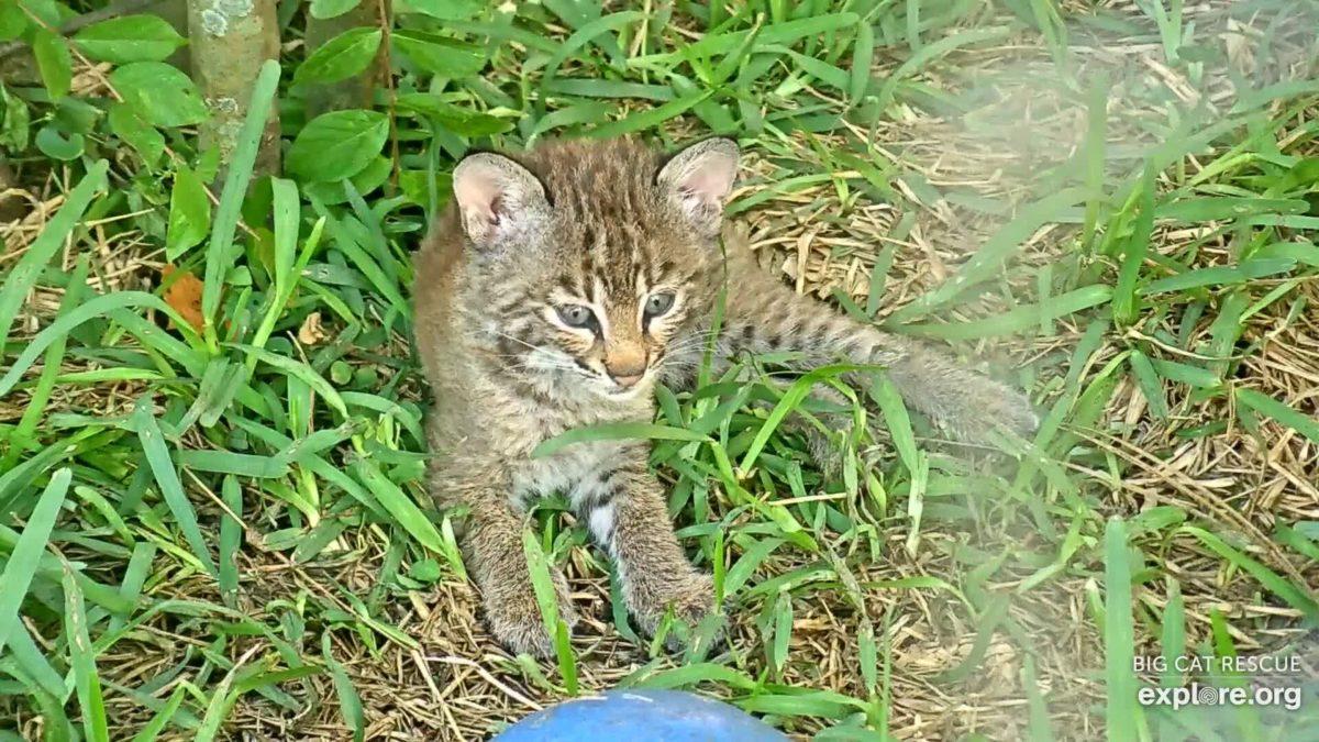 Bobcat Rehab