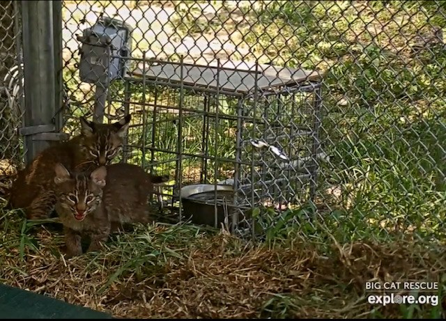 Rehab Bobcat Kittens, Ash and Cinder, moved outside today.