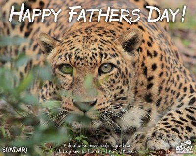 Father's Day is only a couple days away but we've got your gift covered!! Donate & Download - it's that easy!! https://big-cat-rescue.myshopify.com/products/download-fathers-day-big-cat-photo-choose-your-big-cat Customer will automatically receive a download 8x10 that can be printed out! Also, Make Dad and the Big Cats SMILE this Father's Day if you shop on Amazon! You can donate to the cats at NO COST TO YOU when you select BCR as your charity on Amazon Smile and shop Smile.Amazon.com instead of Amazon.com. It is exactly the same as regular Amazon EXCEPT when you use the Smile URL Amazon donates .5% of your purchase to BCR.
