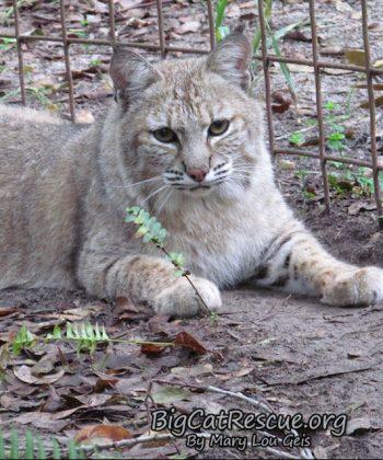 Nabisco Bobcat