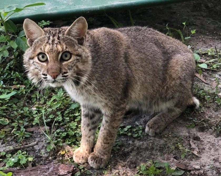 Alpha Bobcat