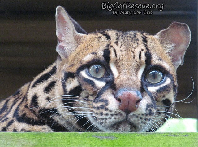 Good morning Big Cat Rescue Friends!☀️ Miss Purr-Fection Ocelot is peeking out to wish everyone a fantastic FURsday!