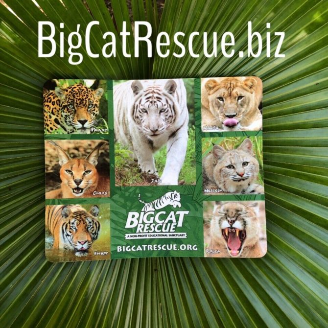 We have a BRAND NEW Big Cat Rescue Photo Collage Mouse Pad in stock!!! https://big-cat-rescue.myshopify.com/products/mouse-pad-photo-collage
