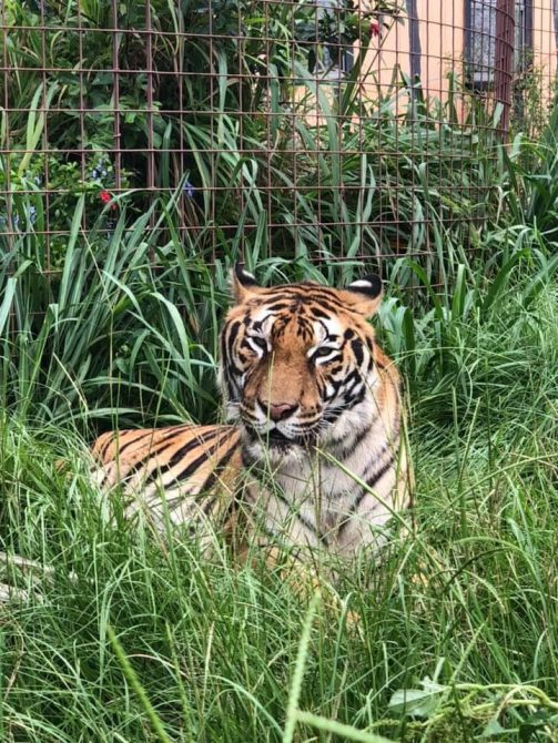 Good morning Big Cat Rescue Friends! ☀️ Hoover Tiger loves hanging out in his tall grasses! 🌿 Have a beautifully blessed day everyone! 🌺 Photo: Courtesy of Keeper Lynda