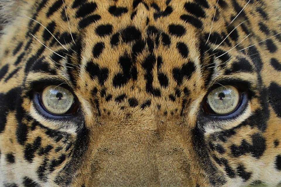 Windows to the soul - Manny Jaguar