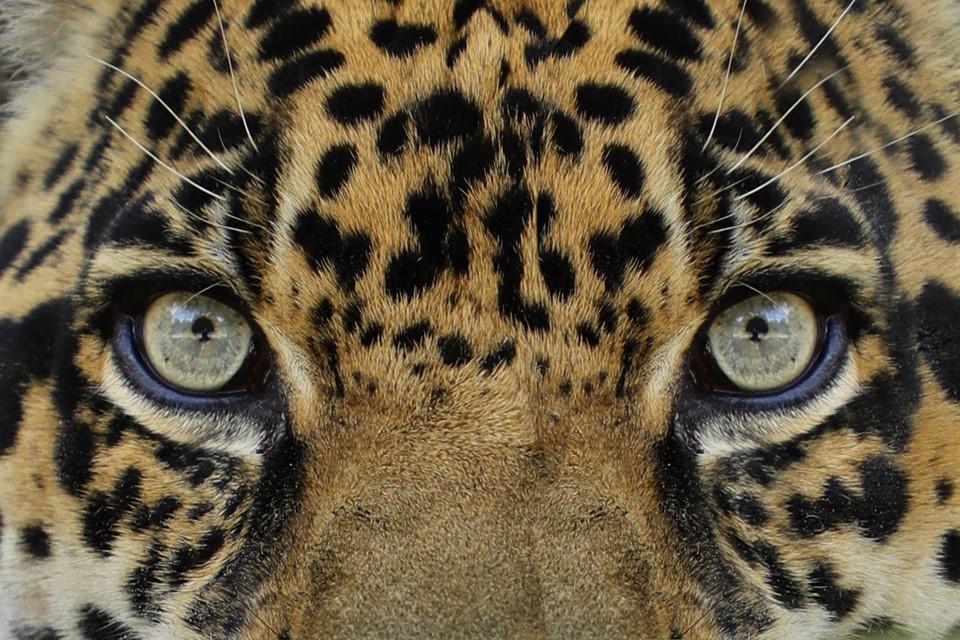 Windows to the soul - Manny Jaguar