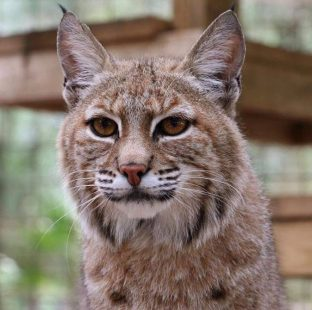 Smalls Bobcat looks ready to engage Zoomies mode!