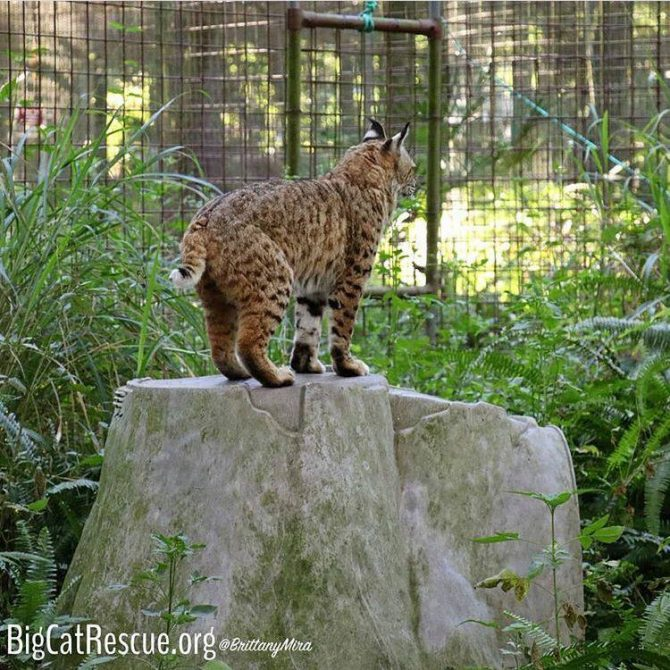Tiger Lilly Bobcat perched on her den waiting for someone to drop by for treats!