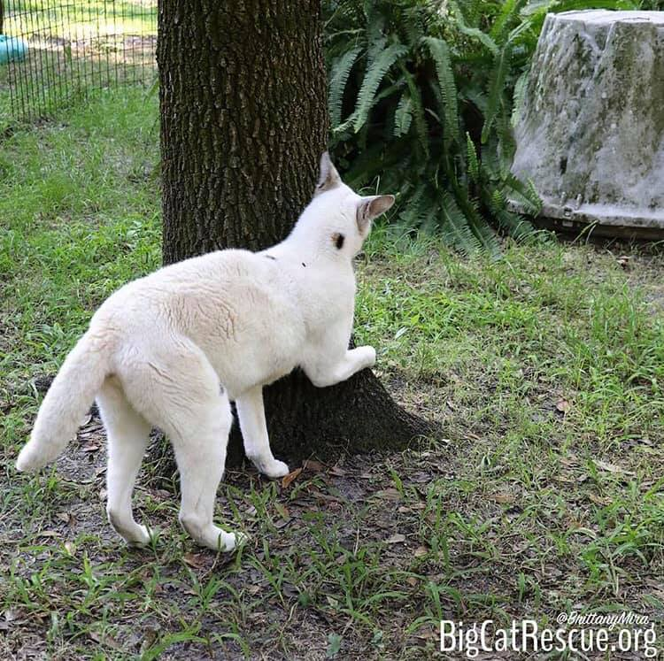 Pharaoh the White Serval is such a little tree hugger!