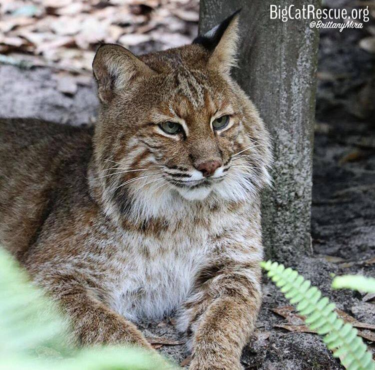 Frankie Bobcat is ready for his catnap under his favorite platform!