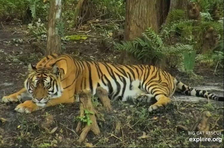 Good night Big Cat Rescue Friends! ? Pretty Princess Priya is enjoying her first evening on Tiger Lake! ??? Sweet dreams Priya!✨