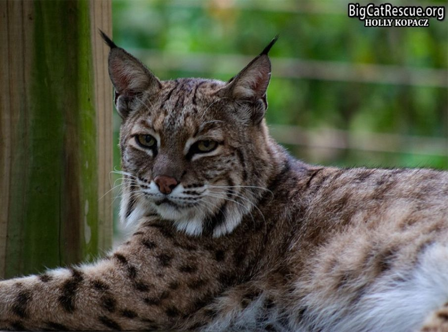 Miss Lovey Bobcat is looking forward to a quiet FURsday evening!