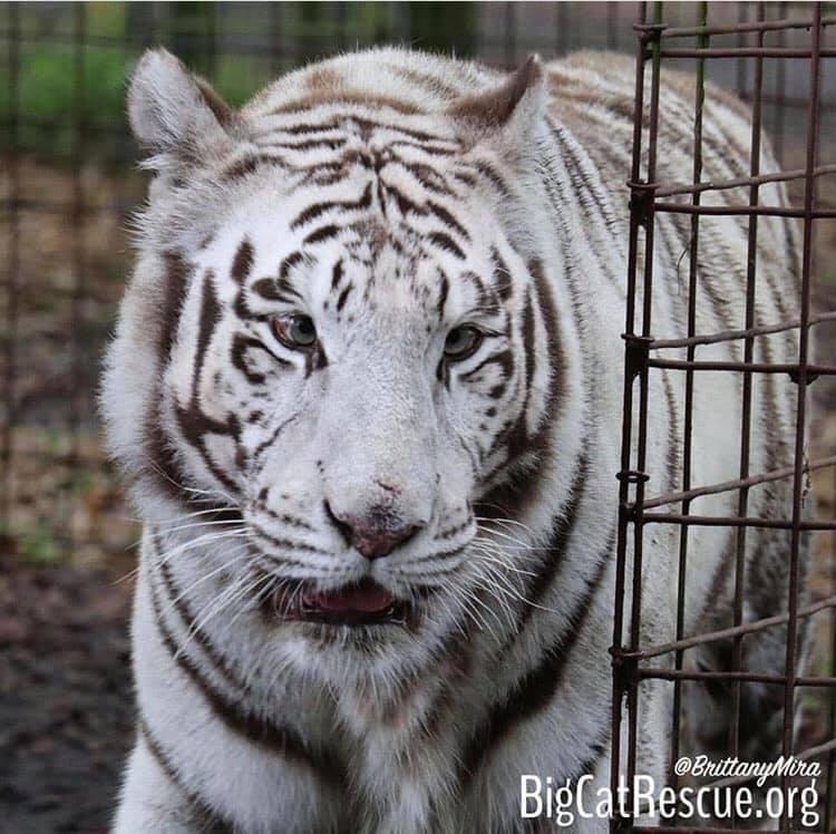 Here comes trouble!...I mean Sapphire Tigress!