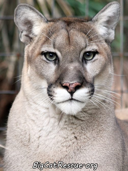 Ares Cougar