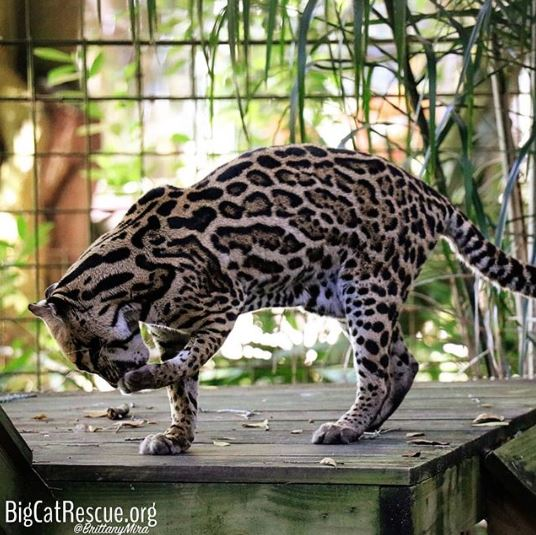 Purrfection Ocelot is cleaning up after breakfast and getting ready for a full day of #catnaps