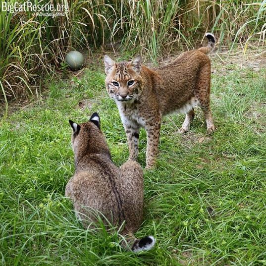 Bobcats, Moses and Bailey, romping around in their soft grass <3
